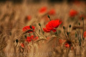 Coquelicots-MG0304-2017-06-25