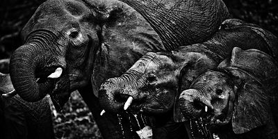 8939-Elephants_drinking_in_the_river_Botswana_2009_Laurent_Baheux
