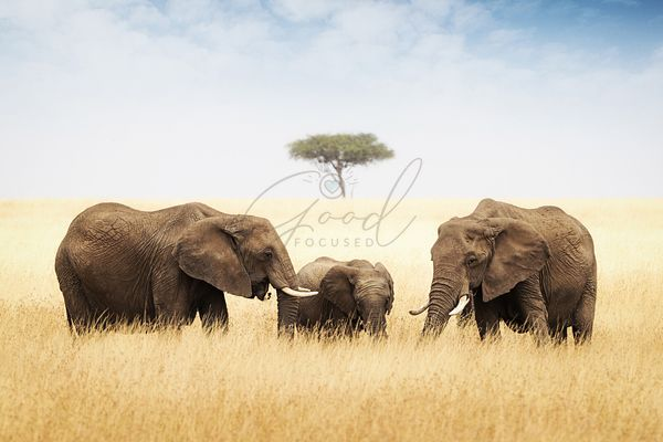 Three elephant in tall grass in Africa large
