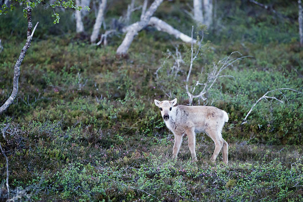 Reindeer calf in the forest