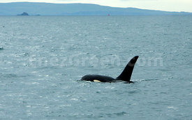 Orca in Outer Hebrides