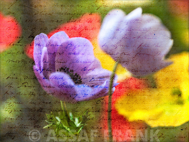 Colorful Anemone flowers in garden
