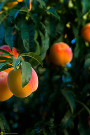 Ripe Peaches on the Tree #10