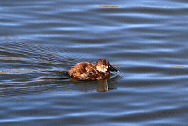 Young Andean Ruddy duck (Oxyura jamaicensis ferruginea)