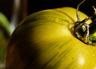 Tomates vertes zébrées