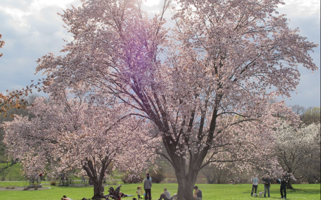 Climate change pushes Washington's cherry blossoms to bloom earlier