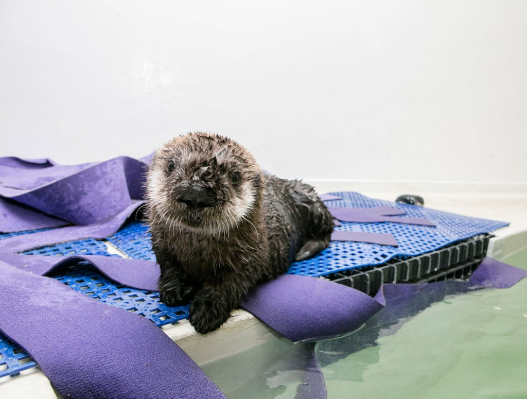 Pup 719 was found by a beachgoer on Carmel Beach, who alerted authorities. Sea otter rescue experts at the Monterey Bay Aquarium attempted to locate her mother, but were unsuccessful. They spent the next several weeks tending to the otter in the Intensive Care Unit. (Brenna Hernandez/Shedd Aquarium)