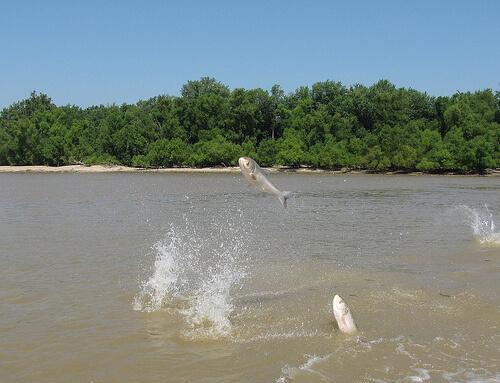 Invasive carp: A fishy situation