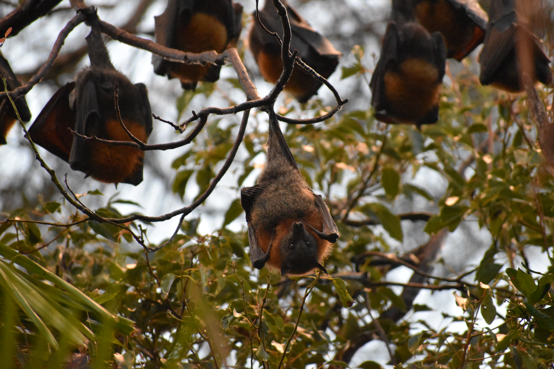 Grey-headed flying fox bats