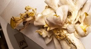 Golden oyster mushrooms being weighed on a small scale