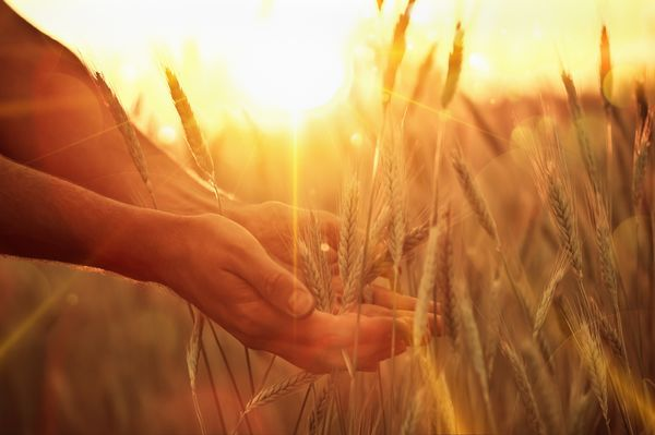 Hands cradling wheat growing in a field