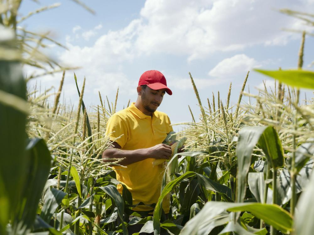 hispanic man in corn field opening ear of corn