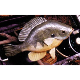 Basswood Bluegill Woodworking Plan, Gifts & Decorations Scrollsaw, Carving, & Decorative Projects