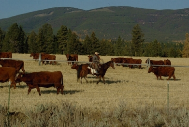 Meyer red Angus grazing in the late fall, being tended by a cowboy on horseback.