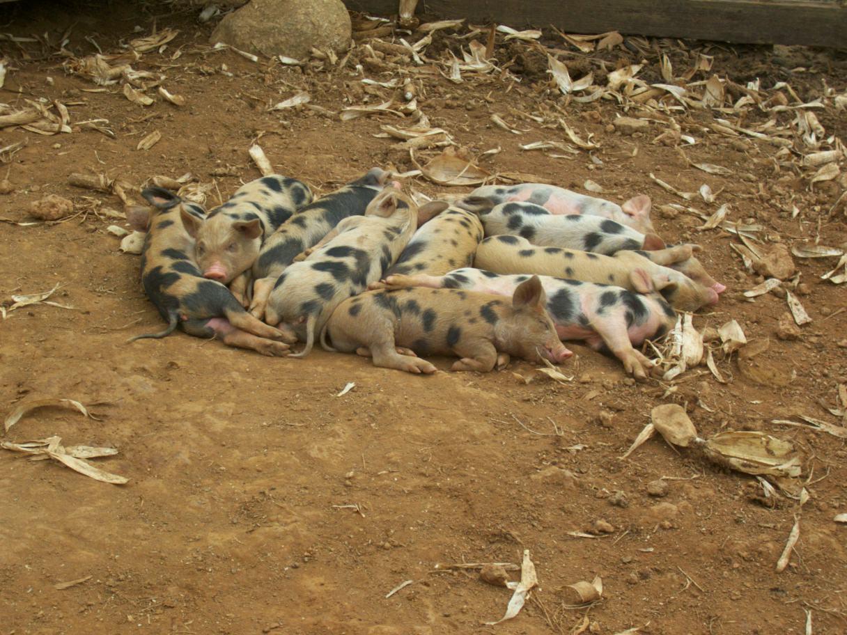 Lindos porquinhos