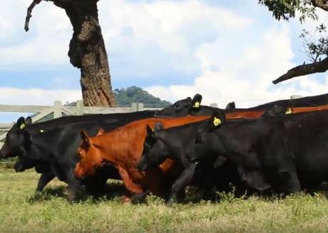 LOTE 108,109 - 2 FÊMEAS ANGUS PO (O COMPRADOR PODE ESCOLHER QUALQUER ANIMAL DO LOTE)