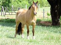 Lindo cavalo crioulo gateado