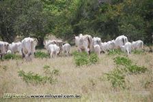Vacas jovens Nelore PO registradas.