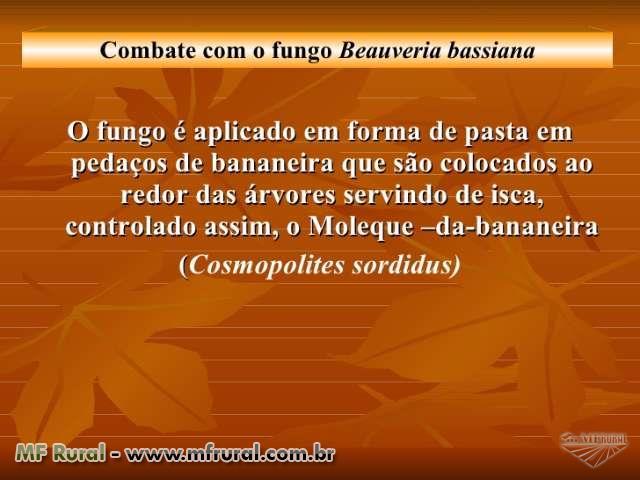 Fungo Beauveria Bassiana no controle biológico do Moleque da Bananeira