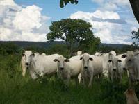 Vacas e novilhas Nelore PO