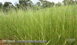 Brachiaria humidicola  llanero ( Capim Humidicola )