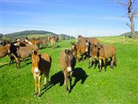 Lote fechado de 40 animais entre Mulas e Burros