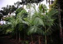 VENDO GRANDE QUANTIDADE DE PALMITO PUPUNHA(HASTES) PARA FABRICAS!  PLANTAÇÃO