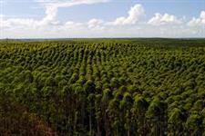 70 mil metros estéreos de eucalipto
