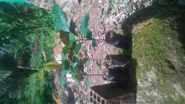 Mudas de mogno africano khaya ivorenses e eucalpto clonado