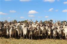 Vendo vacas, novilhas e tourinhos Guzera