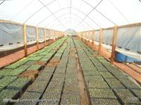 Viveiro de mudas  de eucalipto - Sul de Minas