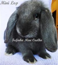 Mini Coelho - Mini Lop