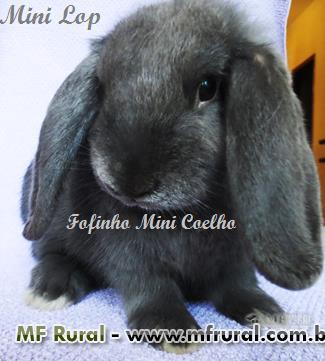 Mini Coelho - Linhagens selecionadas