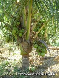 Coqueiro-anão Produzindo