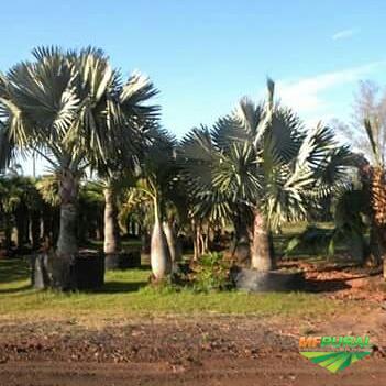 Palmeiras adultas Mudas Palmeira Palmeiras adultas atuando no ramo de produç 067bdfa784c26
