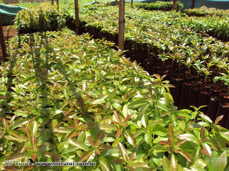 Mudas de Abacate - Enxertadas - Diversas Variedades