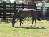 Cavalo Crioulo pronto para provas funcionais, é só por os arreios e competir