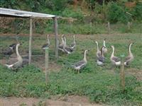 Ovos Galados de Ganso Africano