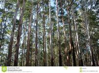 Vendo plantação eucaliptos