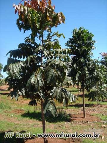 PLANTIO DE MOGNO AFRICANO