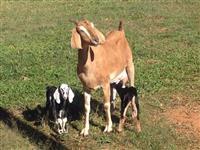 Cabras Anglonubianas
