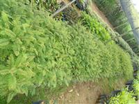 Jacarandá Mimoso - Nativa