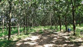 Seringueira em produção - 21 alqueires - Região de Olímpia - 2km do asfalto