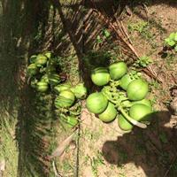 Coco Verde Irrigado