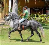 Cavalo mangalarga  4 anos, registro definitivo pelagem tordilha patacada