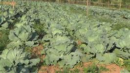 Vendo beterraba, repolho, batata-doce, tomate, pimentão, abobrinha, cabotiá no Tocantins
