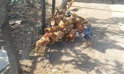 galinhas caipiras