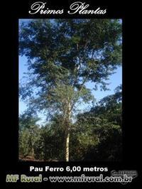 Árvores pau ferro formadas de 5 a 7 metros Dap de 10 á 15