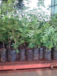Mudas arvores nativas para reflorestamento