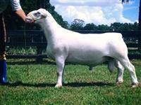 Ovinos White Dorper